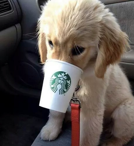dog, starbucks, animal, chiot, chien