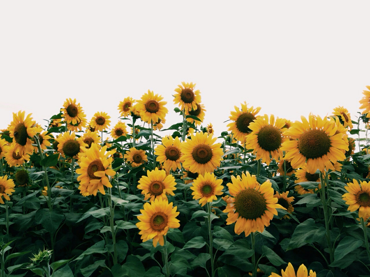 Aesthetic Pictures Of Sunflowers