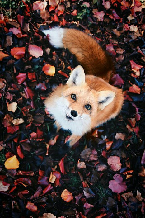 animal, autumn, fall, fox, leaf