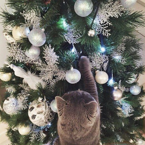 adorable, animals, cat, cats, christmas