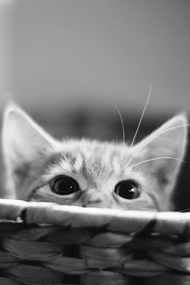 animals, b&w, black and white, cat, cute
