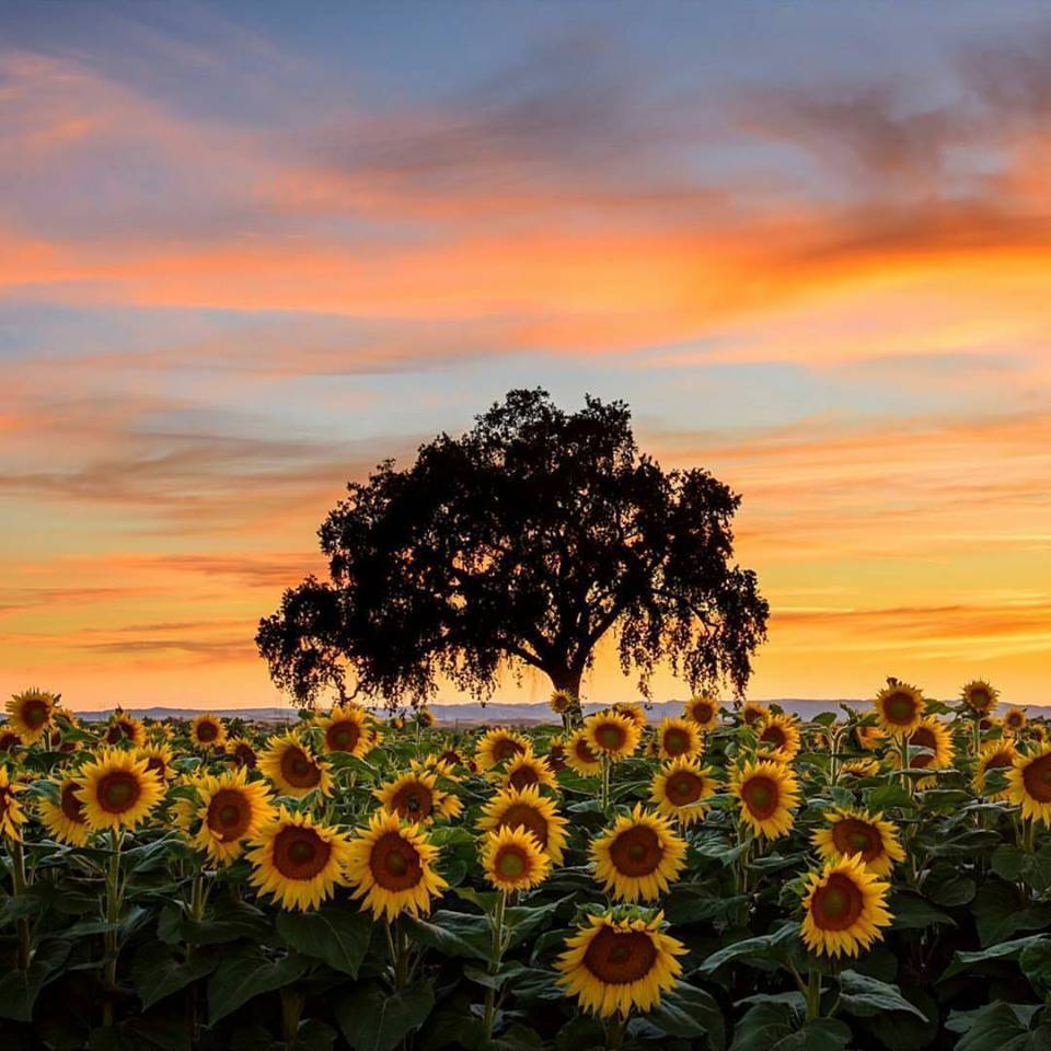 landscape, nature, photography, spring, sunflowers
