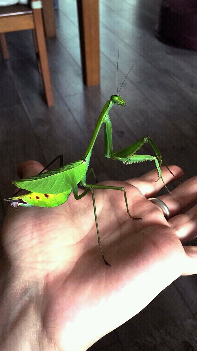bug, green, mantis, pet